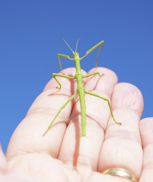 Green stick insect on hand