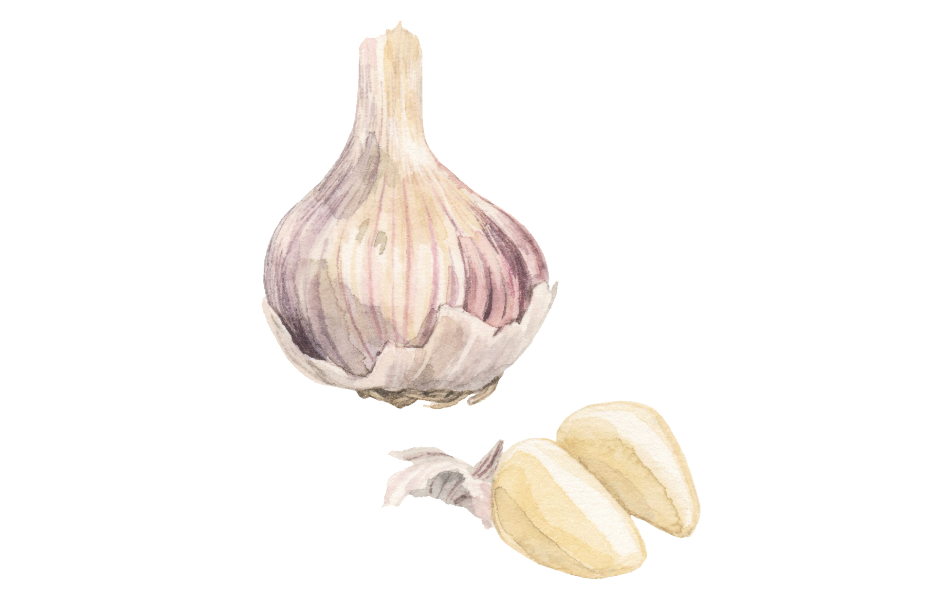 Illustration of garlic head and cloves