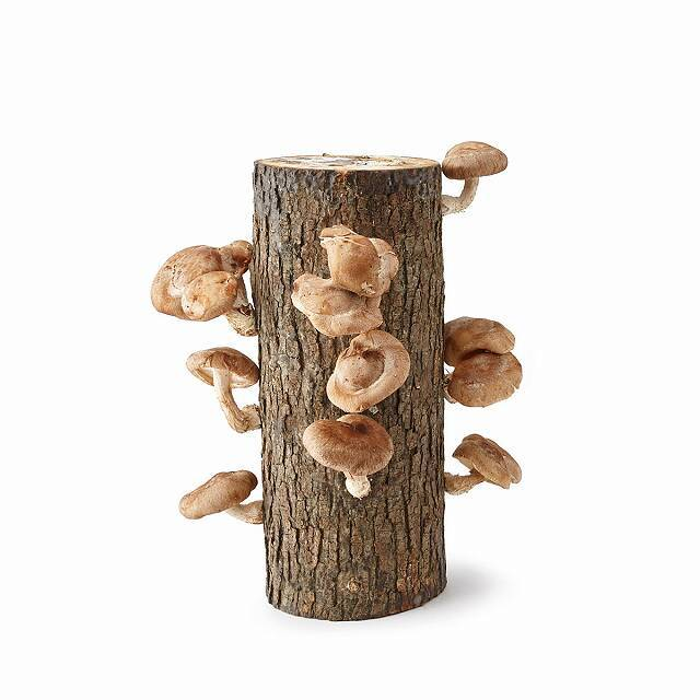 Gifts for Foodies: Oyster Mushroom Log Kit