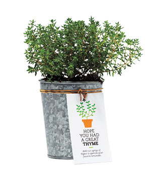 Potted thyme plant