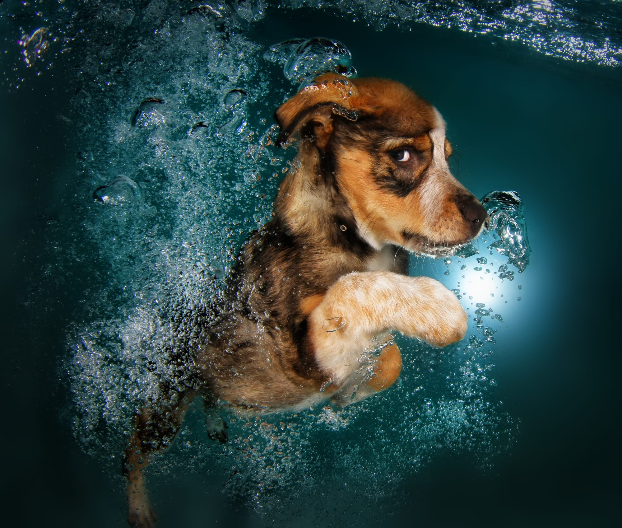 Ginger, a 12-week-old border collie mix, swimming.
