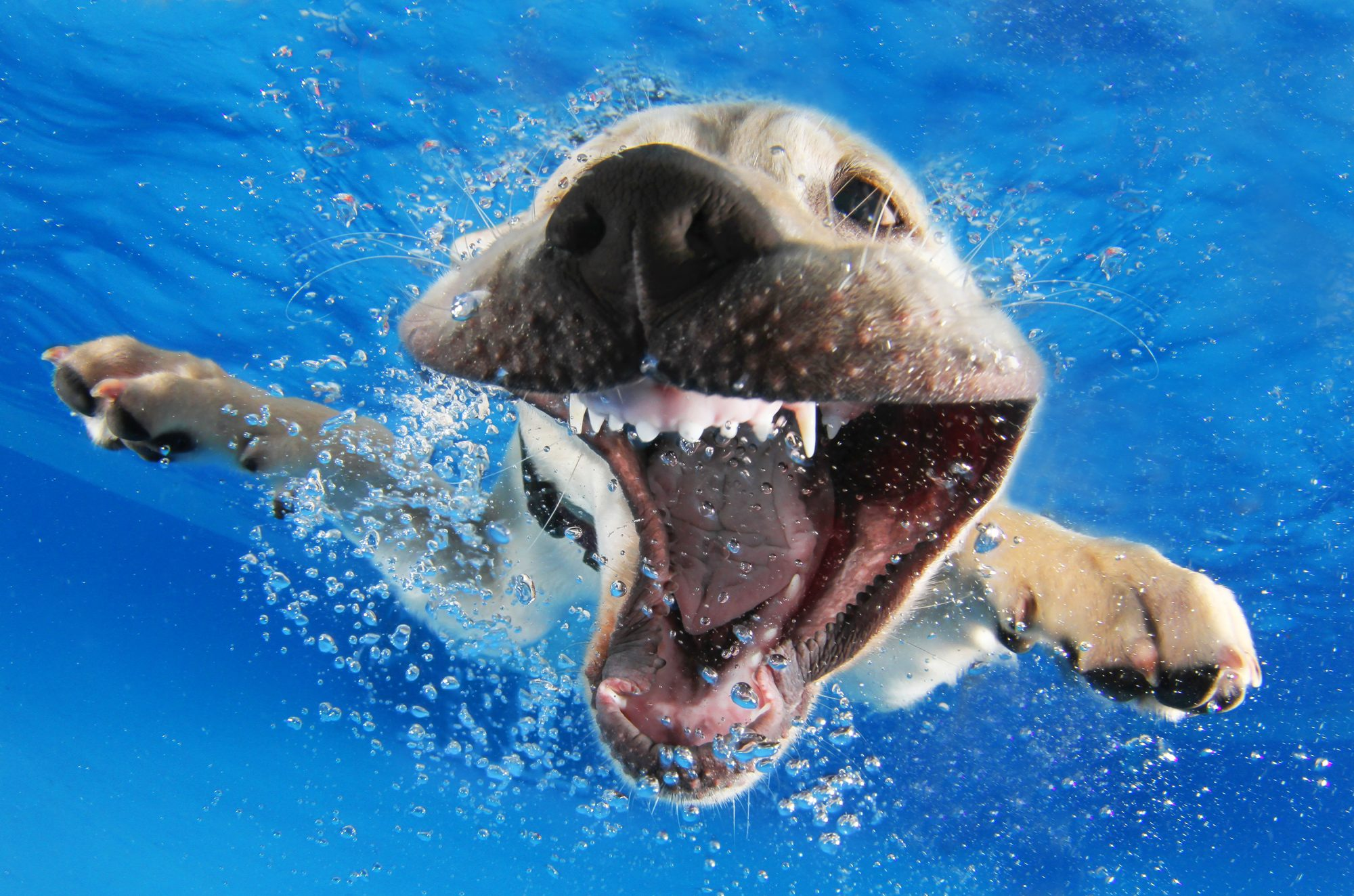 Reason, a 12-week-old yellow labrador retriever, swimming