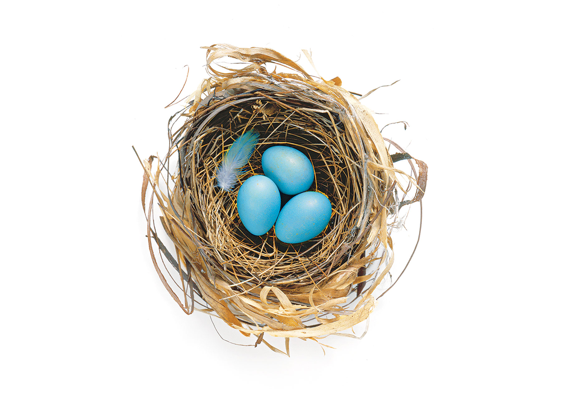 Blue eggs in a birds nest