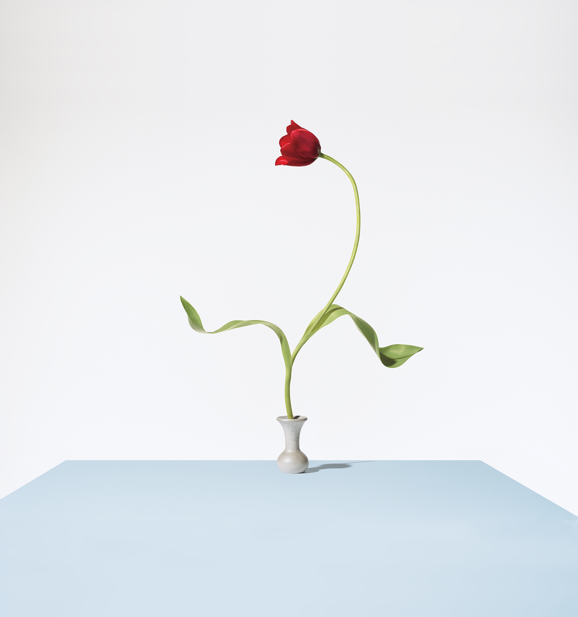 Red tulip in bud vase