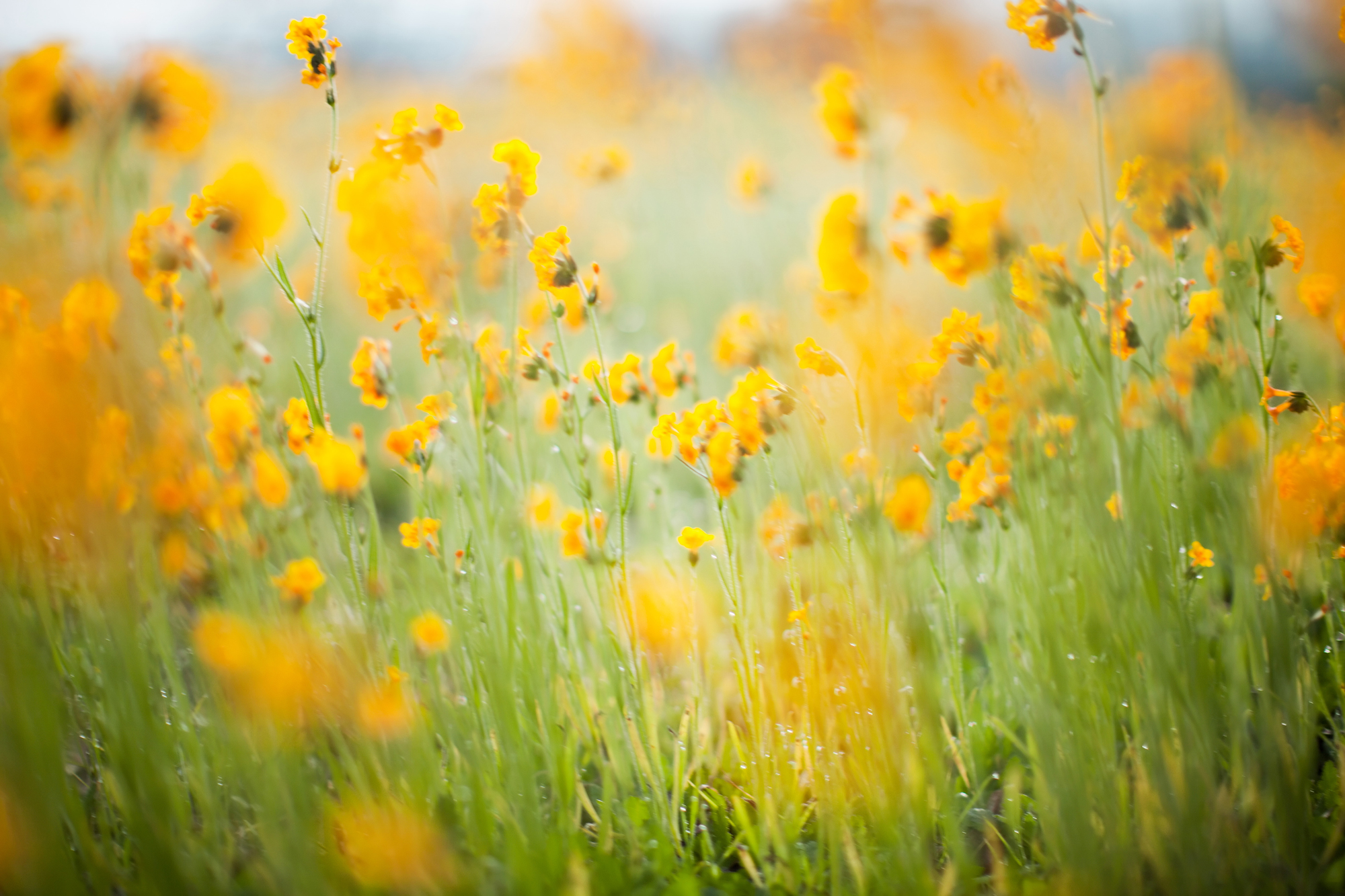 Blurred yellow flowers
