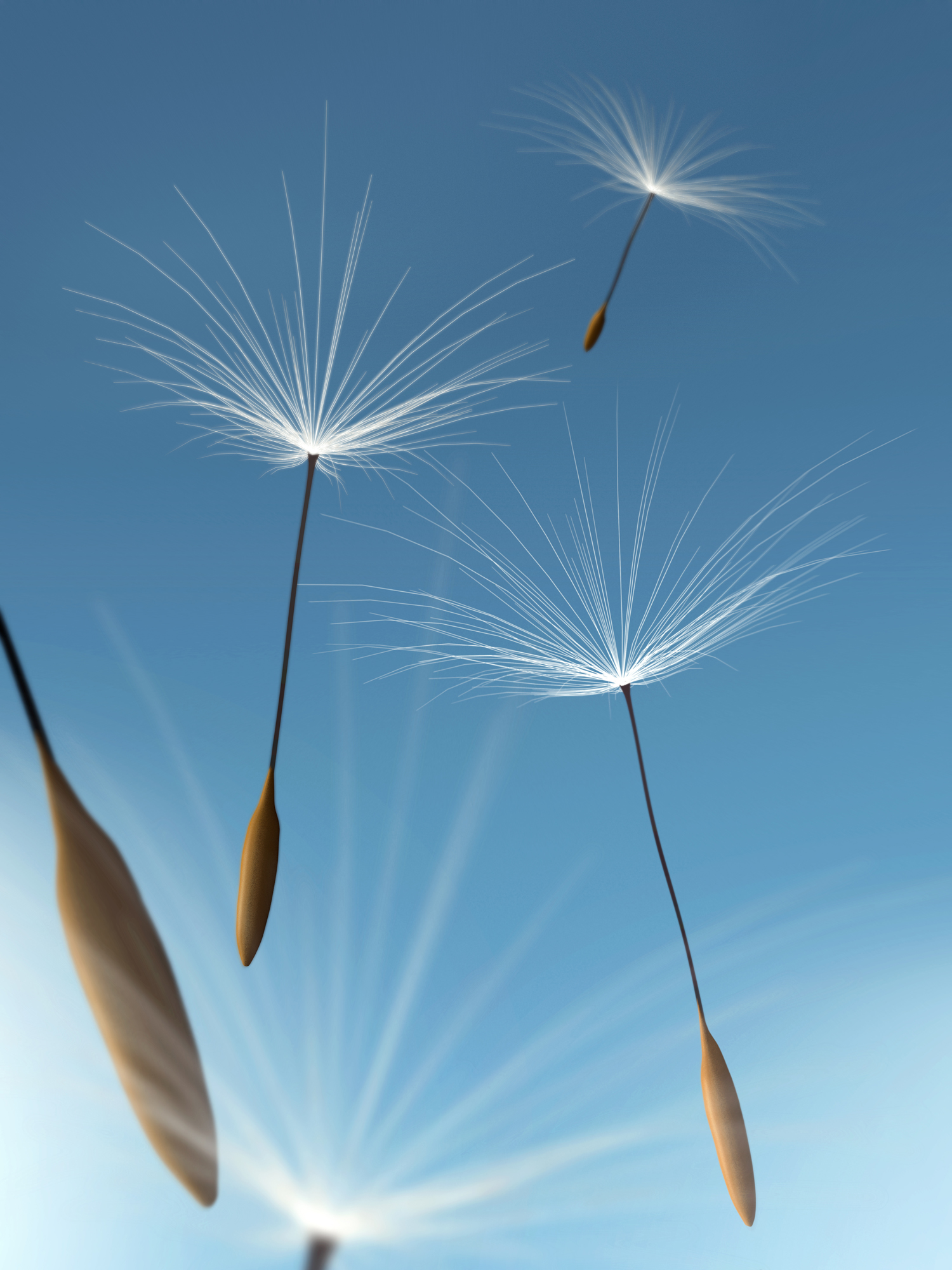 Floating dandelion seeds