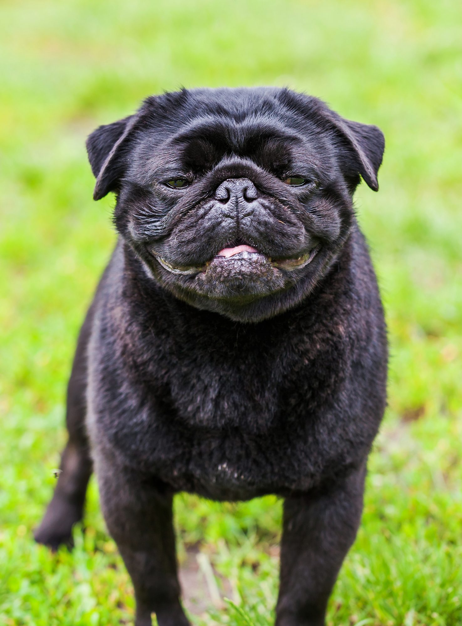 smiling pug dog in grass