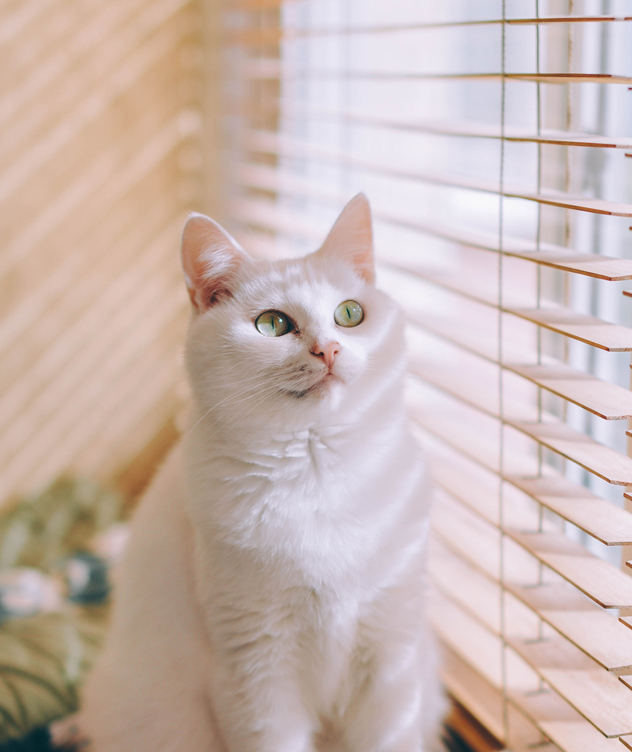 White cat next to window blinds