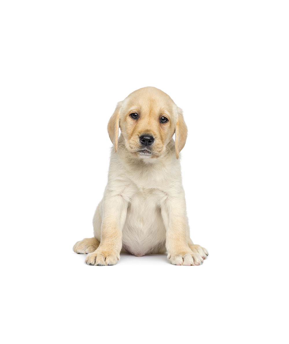 yellow-labrador