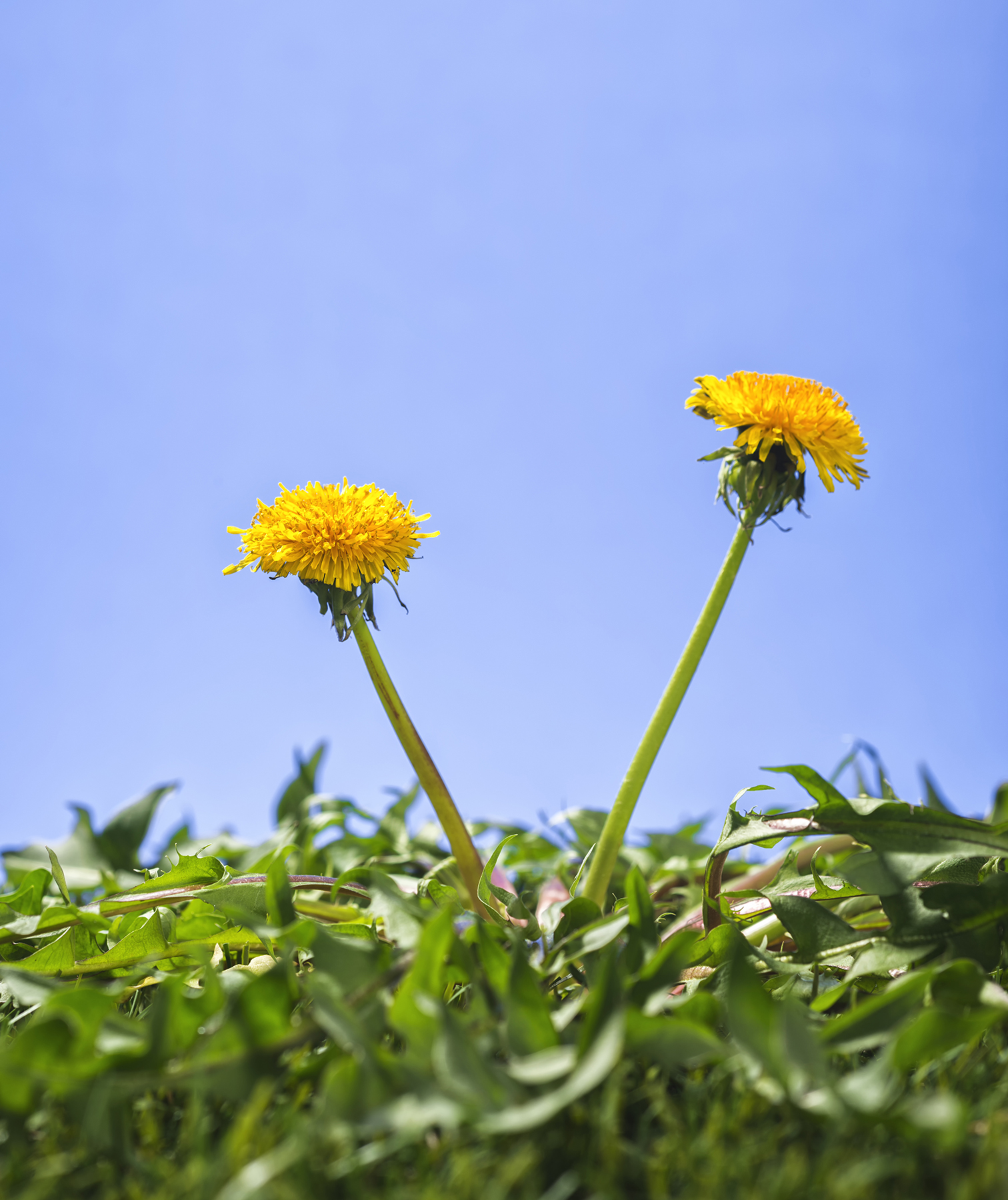Dandelions growing on lawn