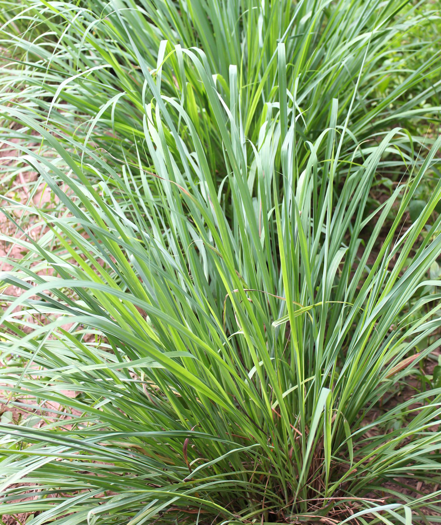 Plants That Repel Mosquitoes Citronella Gr