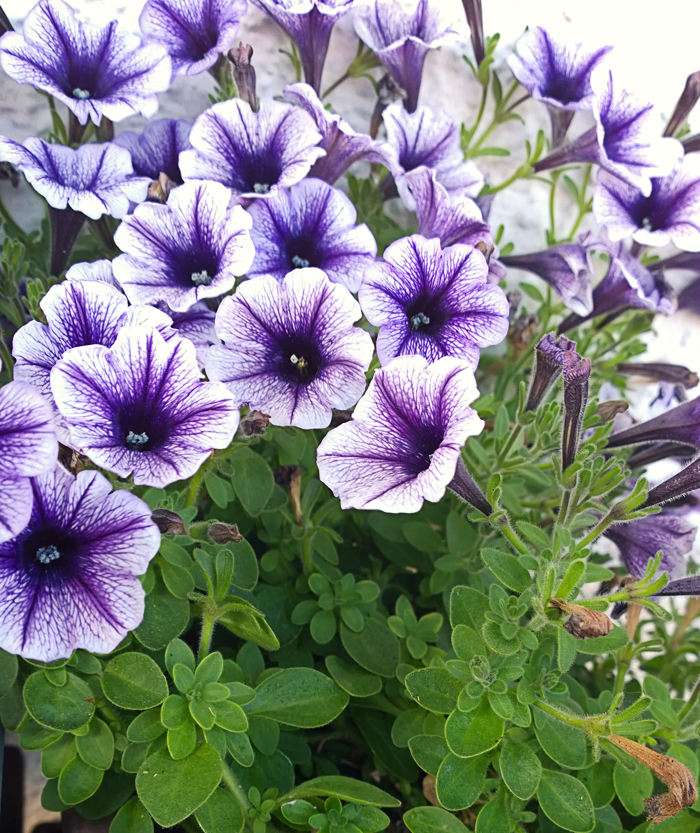 Plants That Repel Mosquitoes Purple Petunias