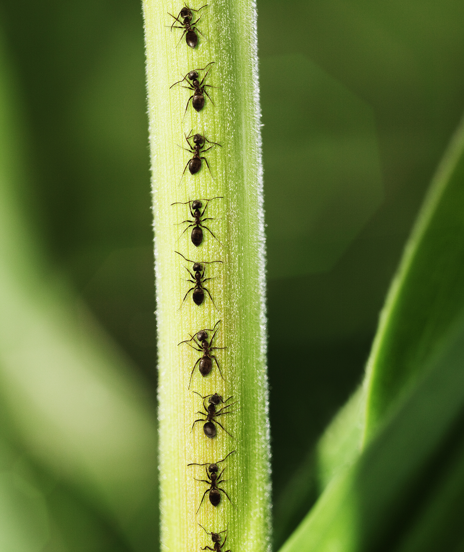 Ants crawling up plant stem