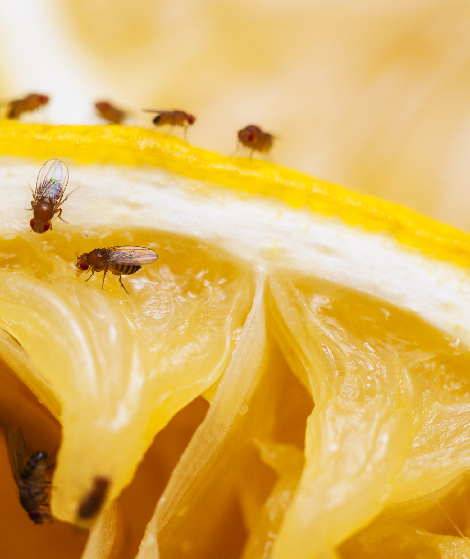 Fruit flies on a lemon