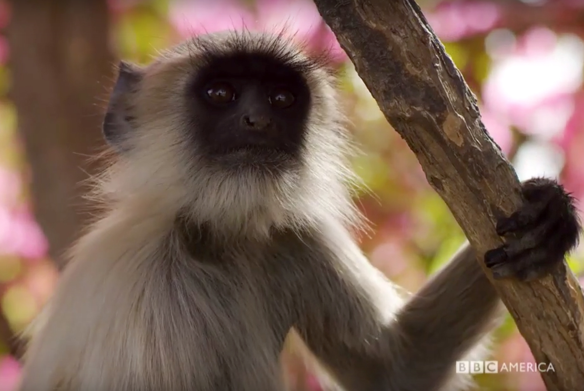 BBC Planet Earth 2 monkey