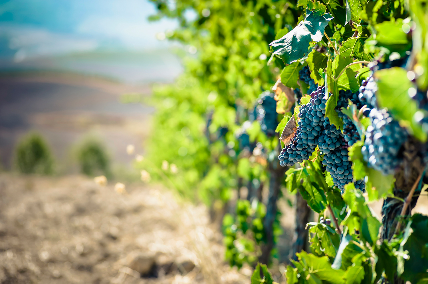 Grapes on Vine in Vineyard