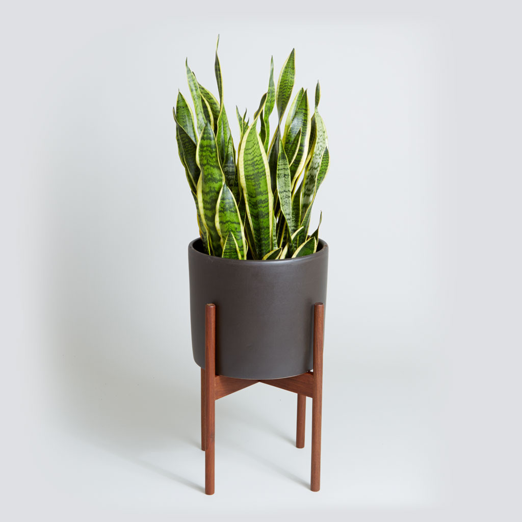 Exceptional Snake Plant