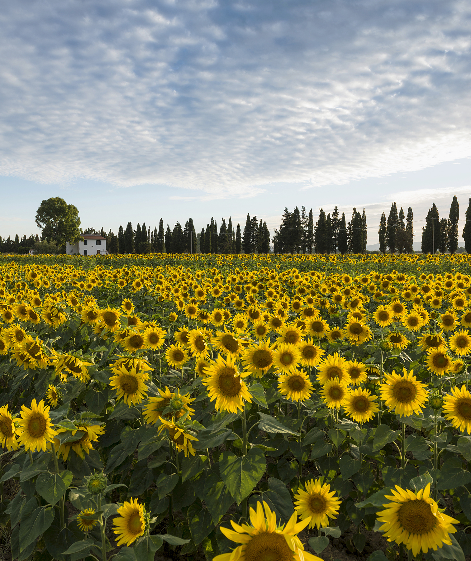 Sunflower field in Tuscany