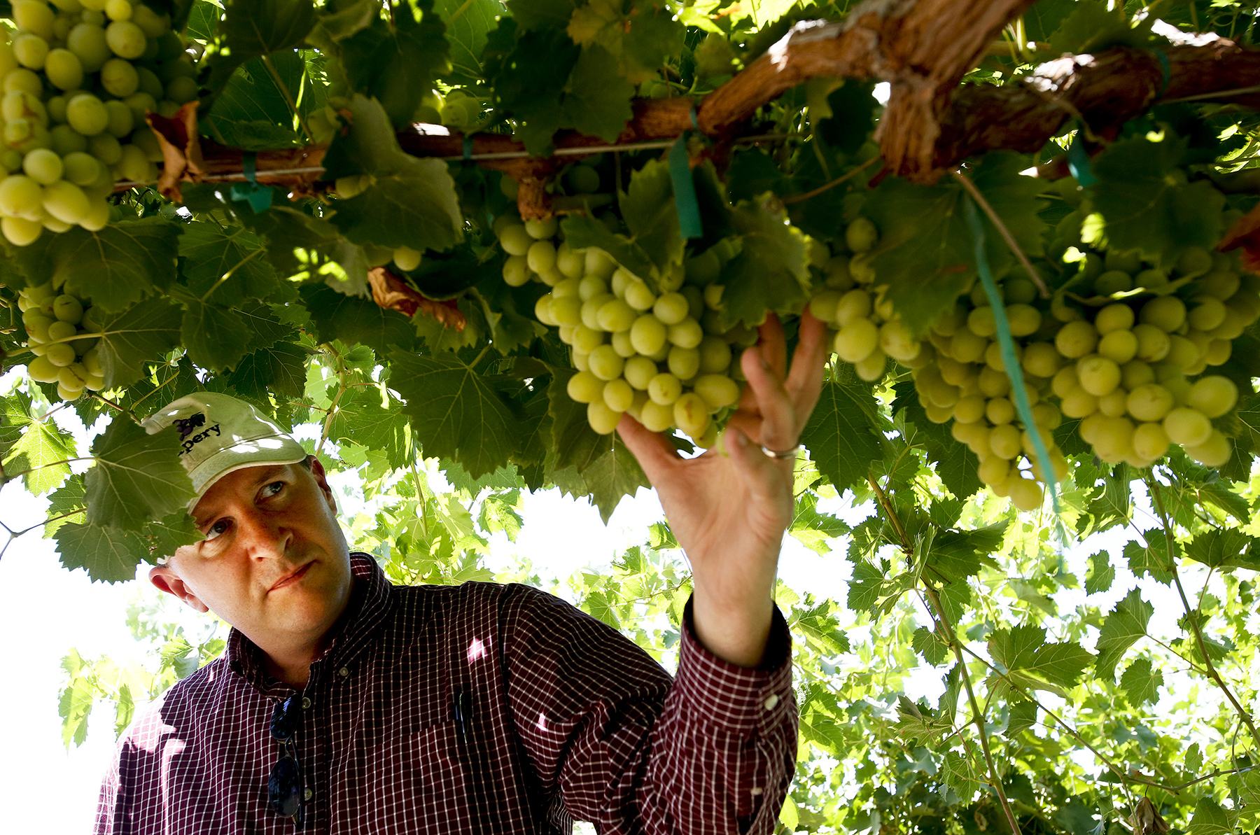 Jim Beagle and his cotton candy grapes