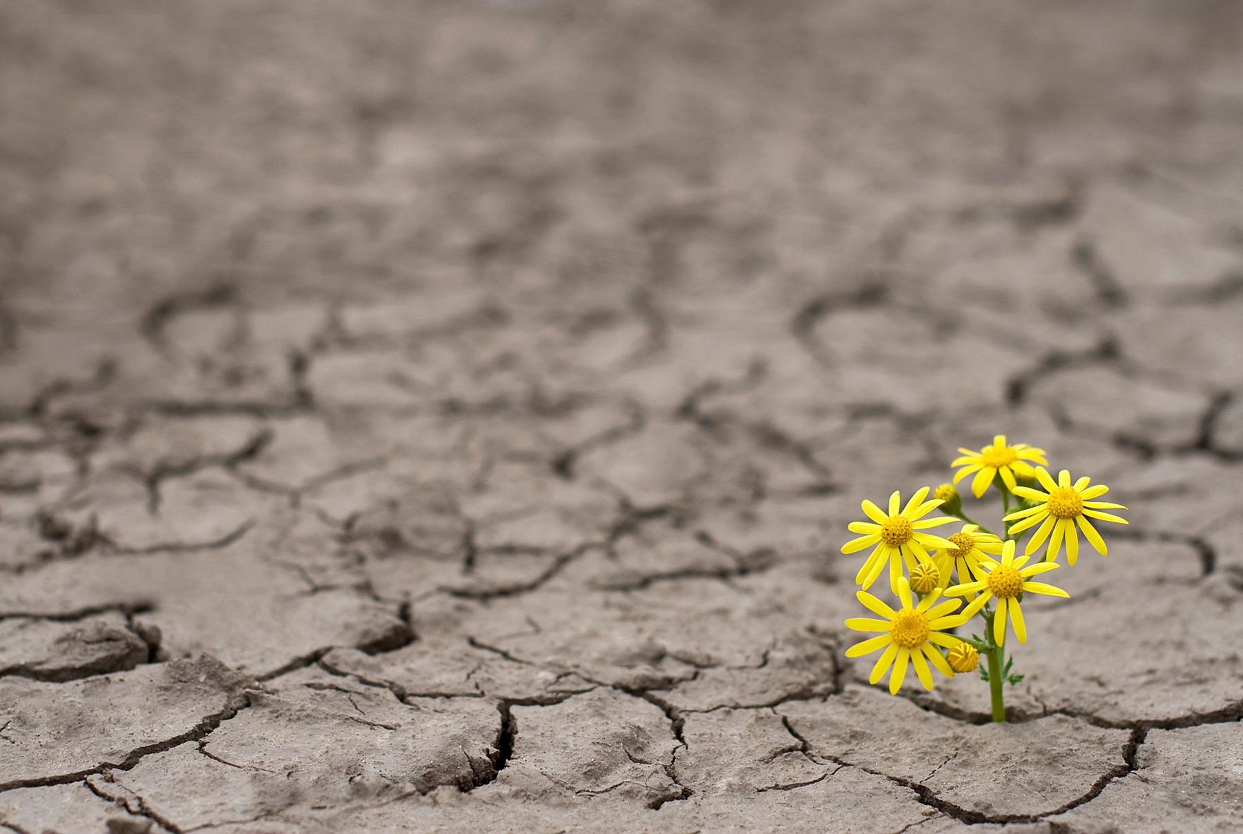 Yellow flowers blooming from dry cracked ground