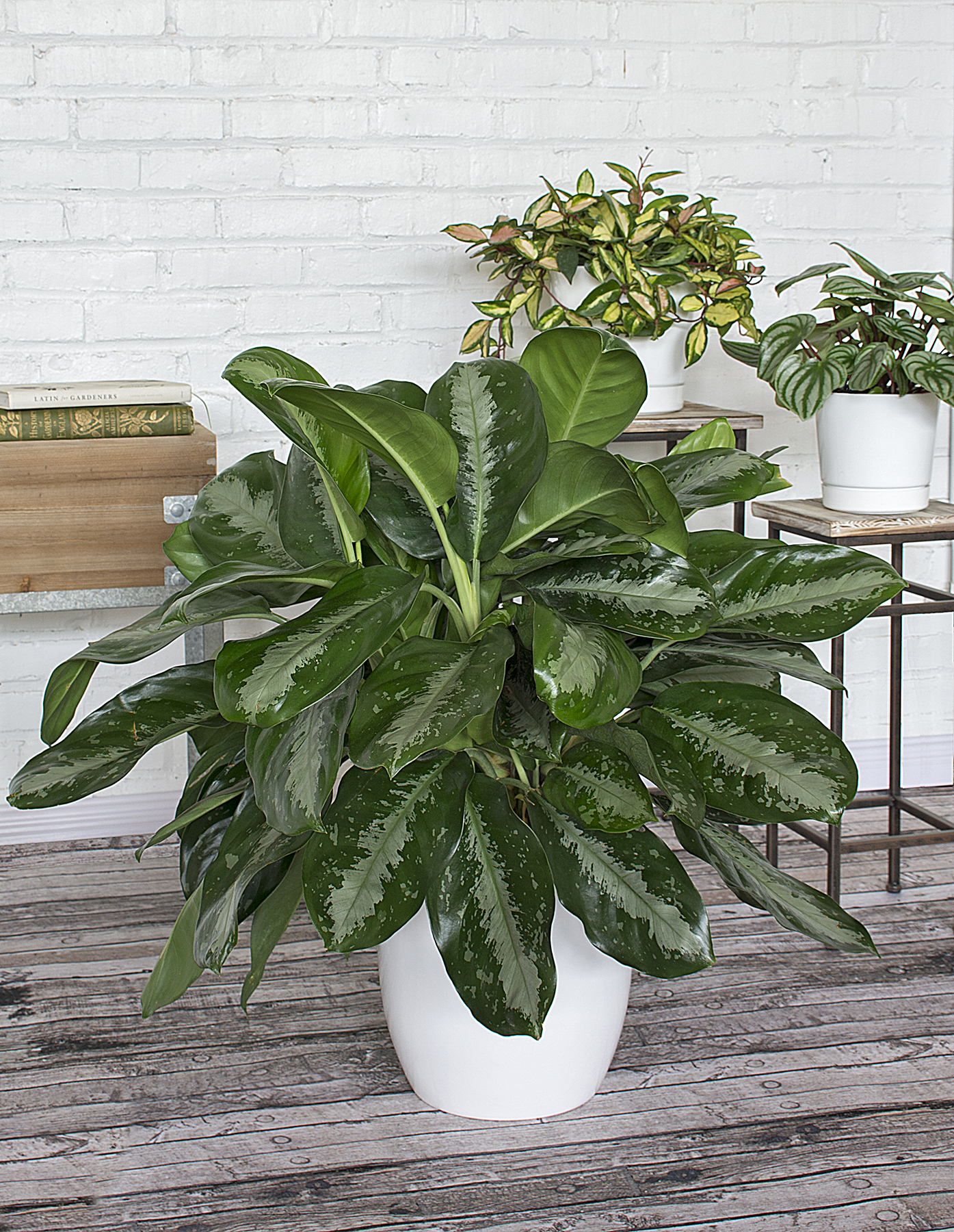 In a Low-Light Room: Chinese Evergreen, or Aglaonema