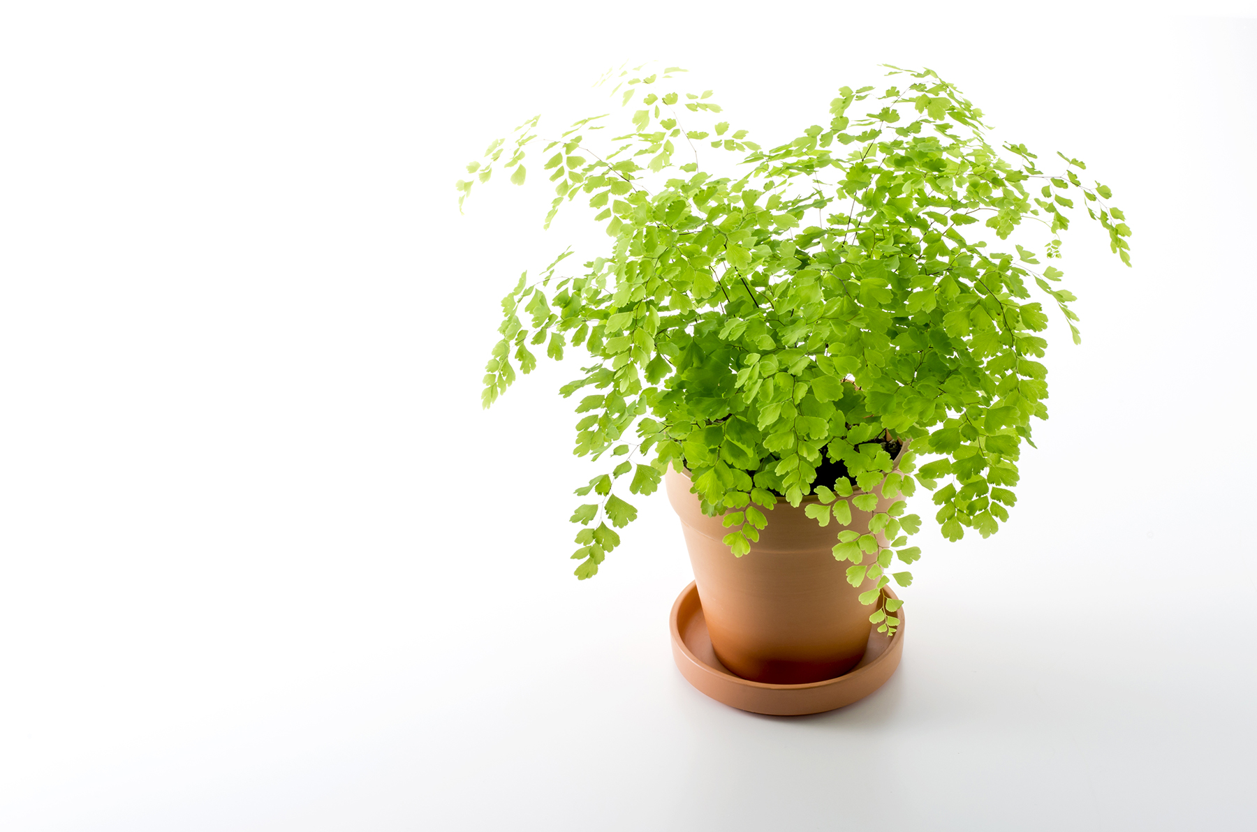 In a Low-Light Room: Maidenhair Fern