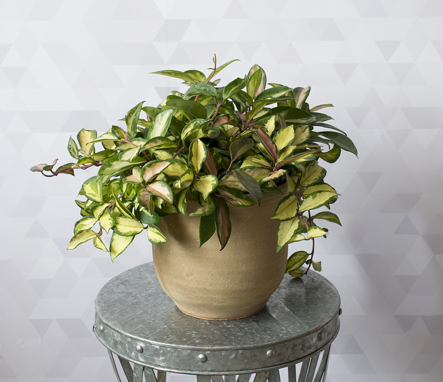 In an Overly-Heated Room: Wax Plant
