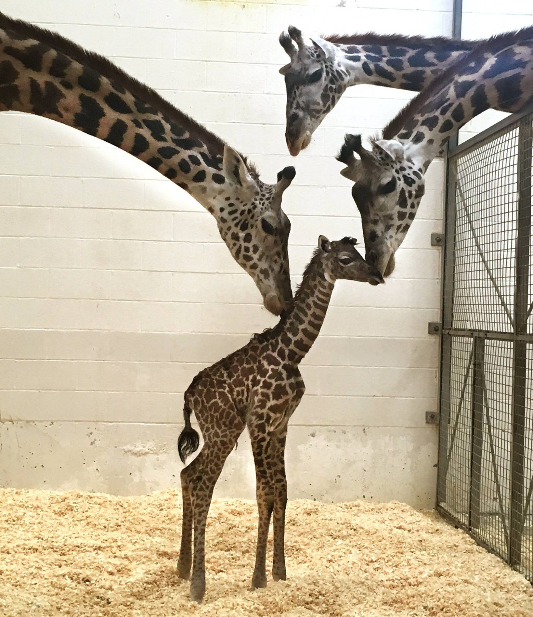baby giraffe and mom