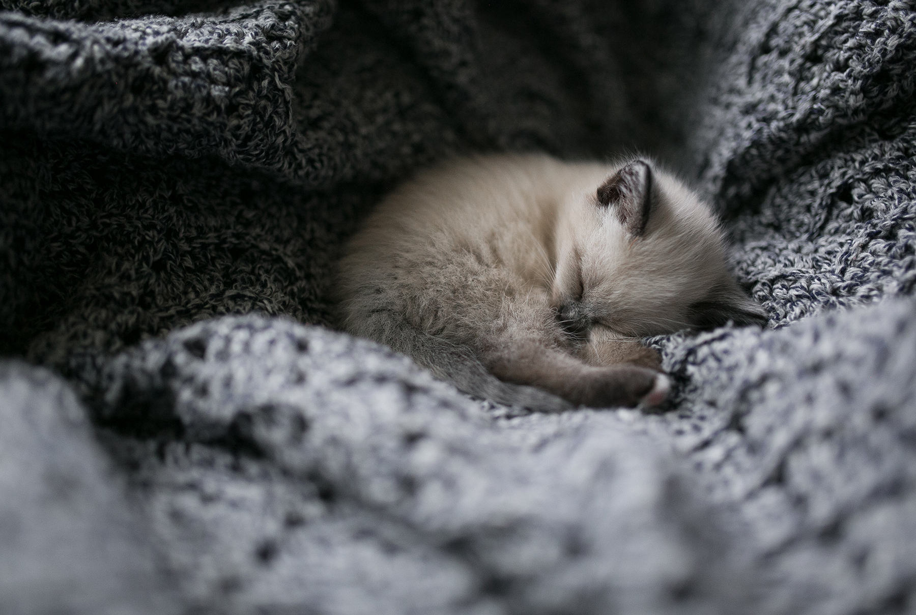 Blue point Siamese kitten sleeping in gray blankets