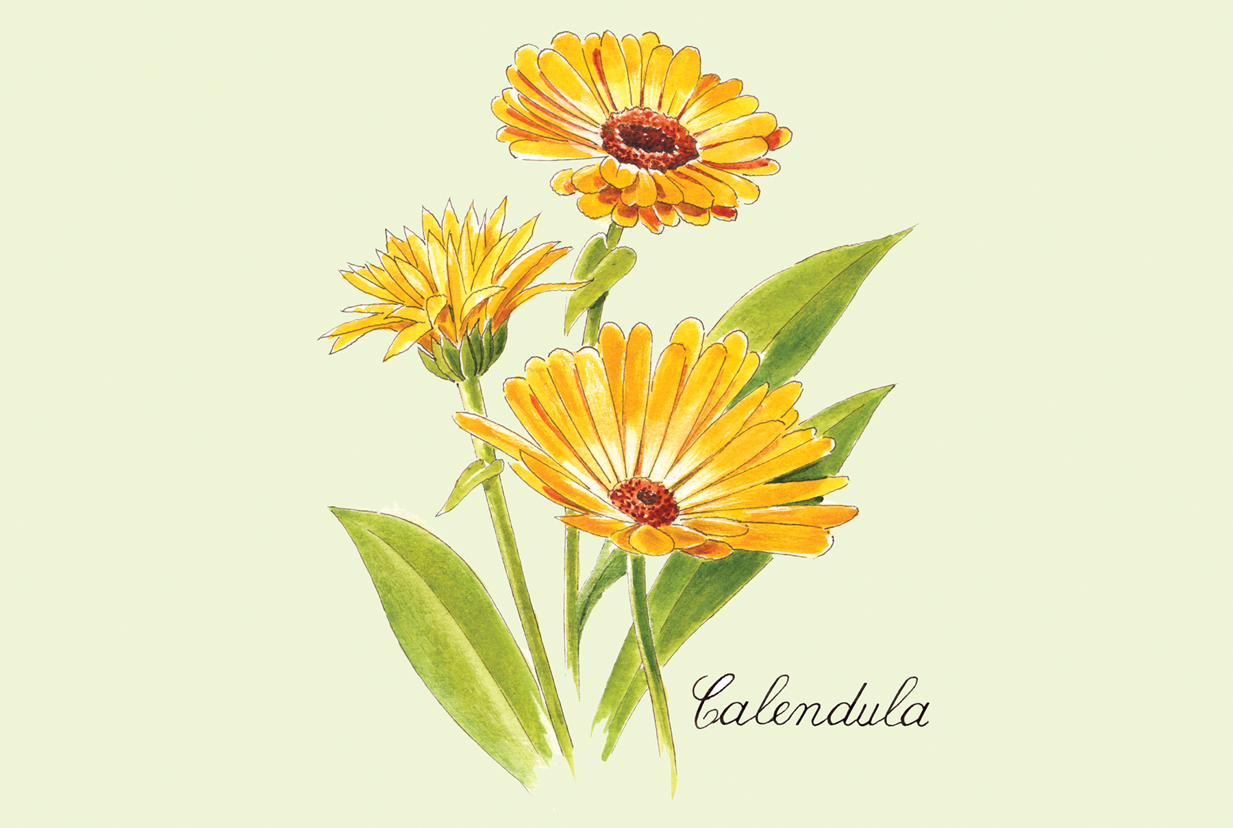 Illustration: Calendula