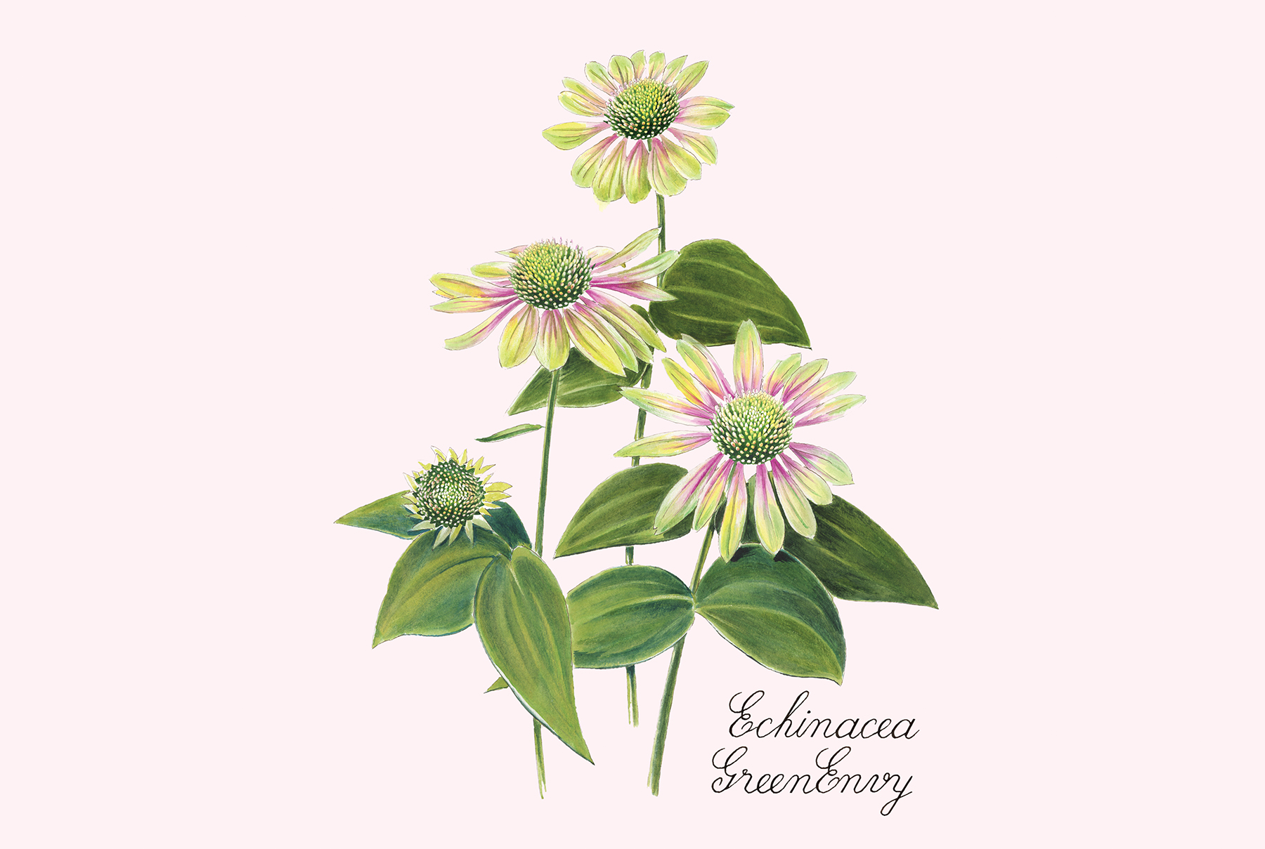 Echinacea GreenEnvy: Protects