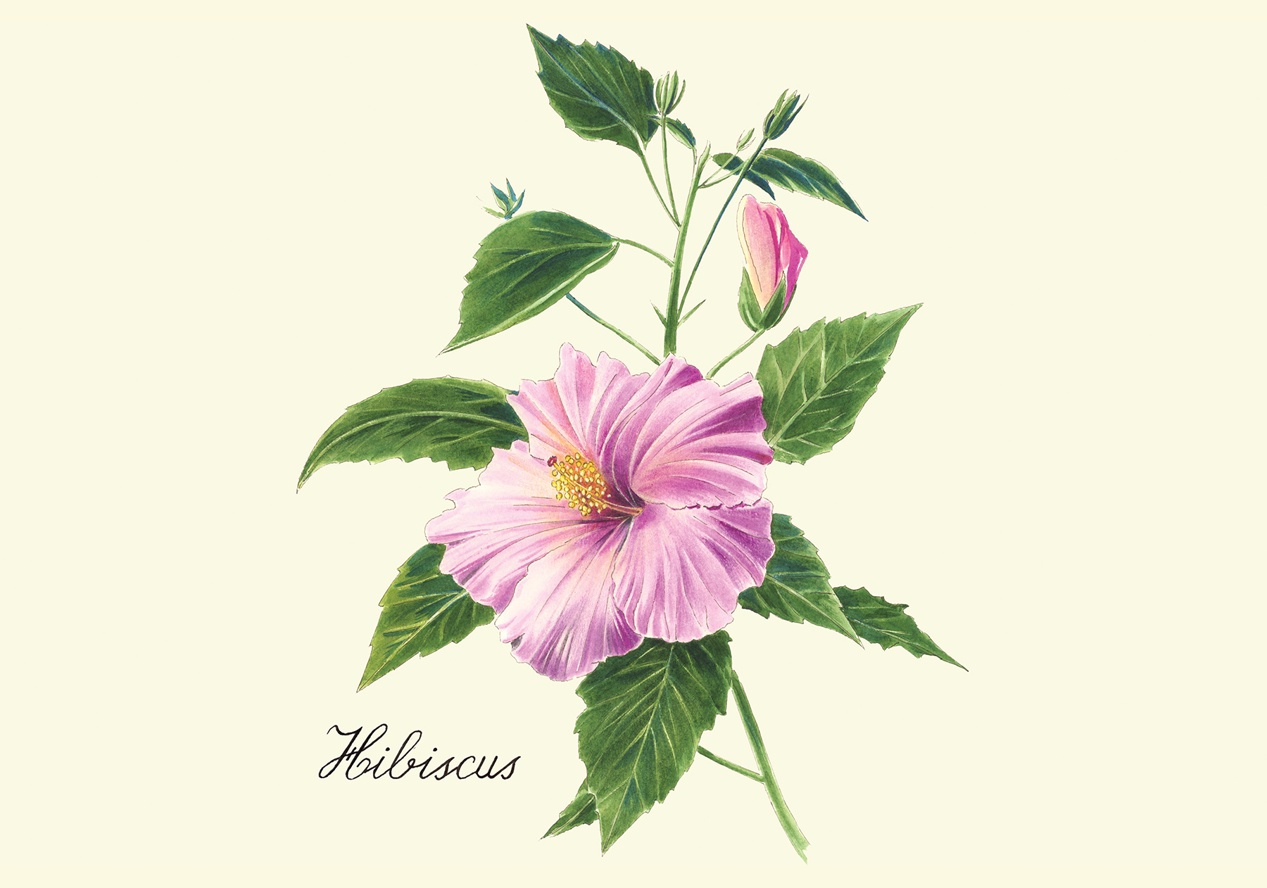 Illustration: Hibiscus