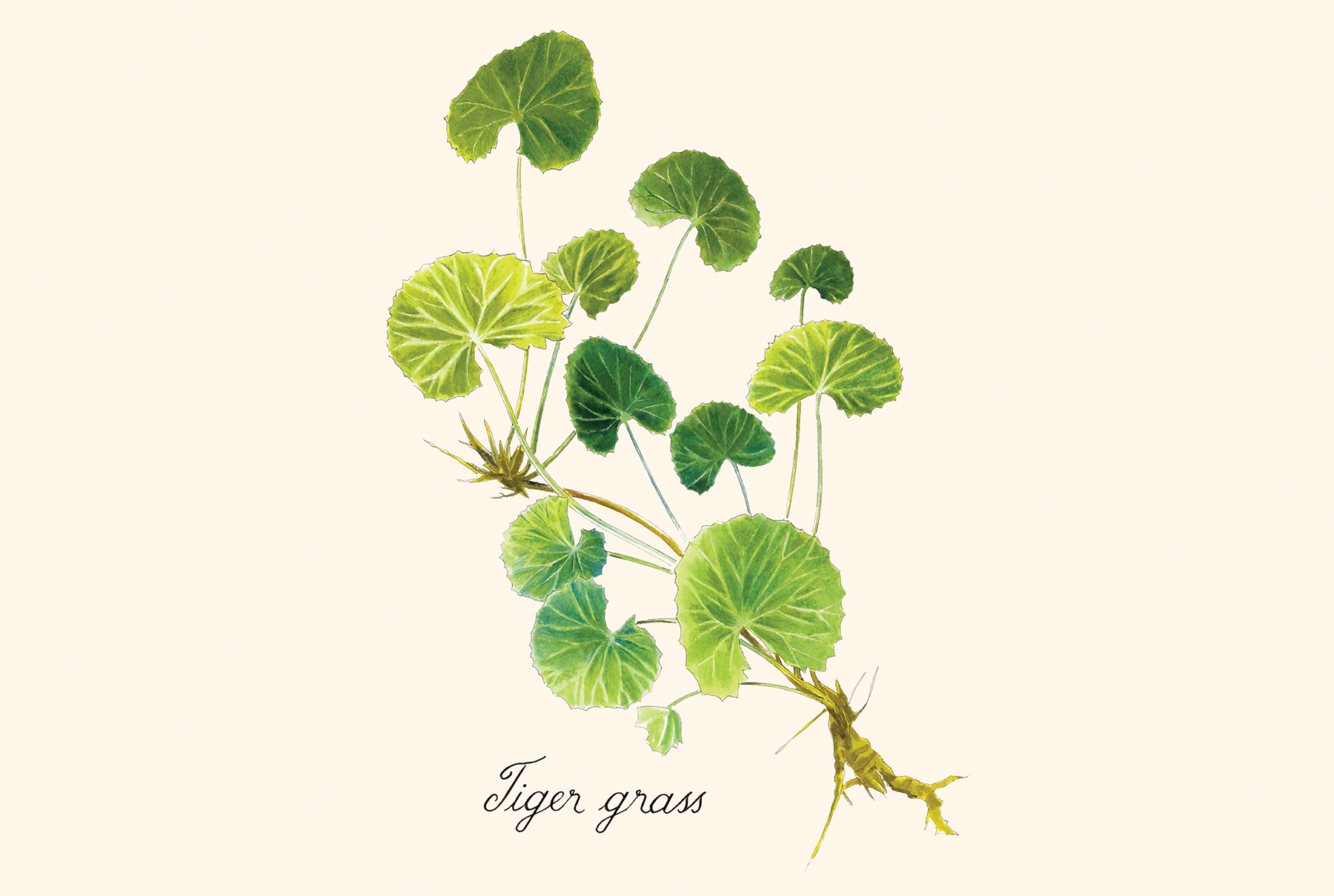 Illustration: Tiger Grass