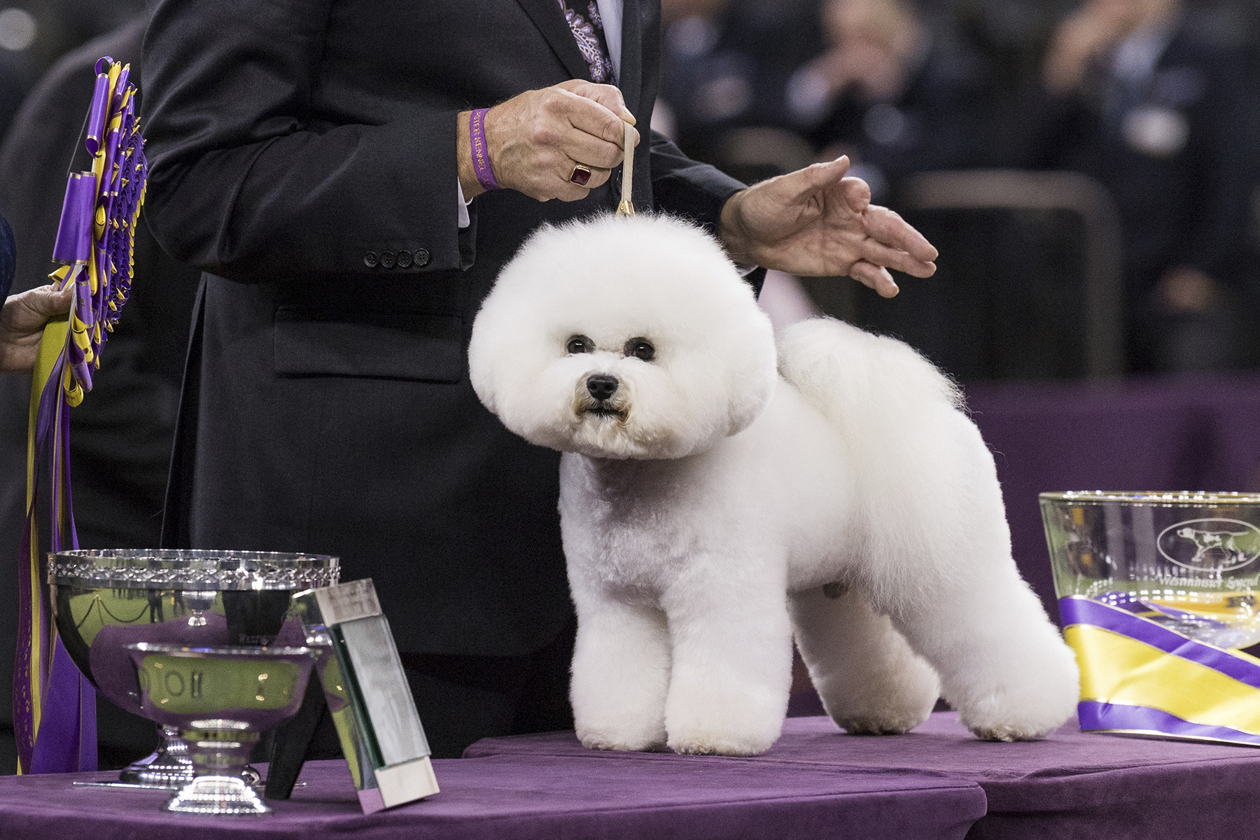 Westminster Dog Show Best in Show 2018, bichon frise on table with handler