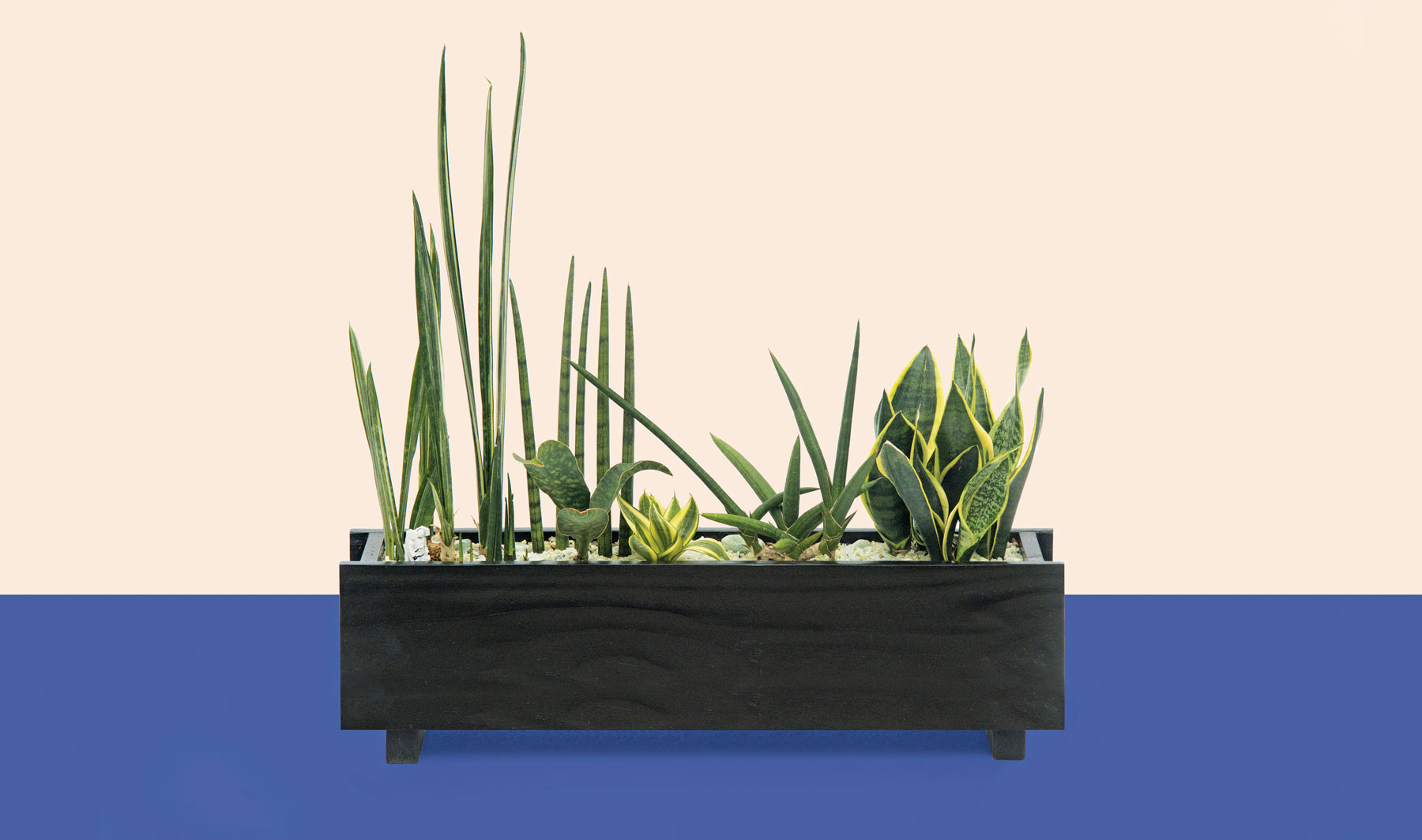 Detox Box sansevieria window box