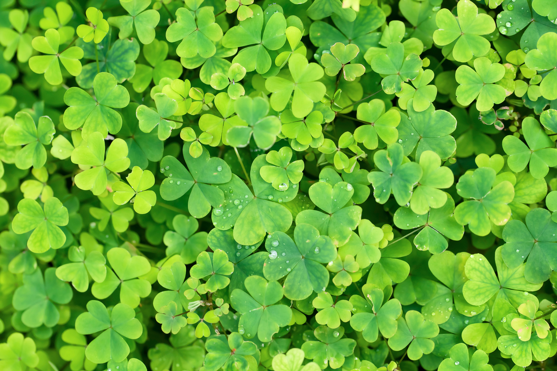 St Patty or St Paddy - St. Patrick's Day green clover