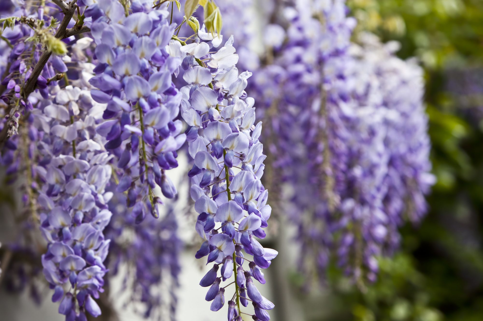 Home Depot is Selling Wisteria for Just $23