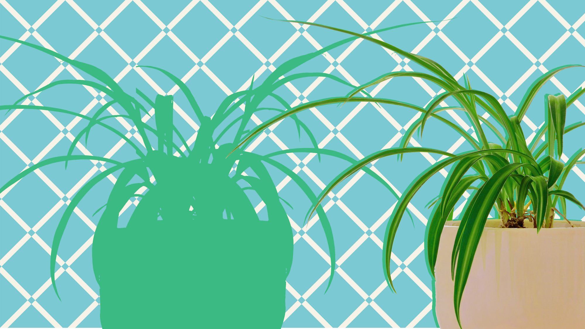 The Secret to Caring for Spider Plants? Don't Overthink It