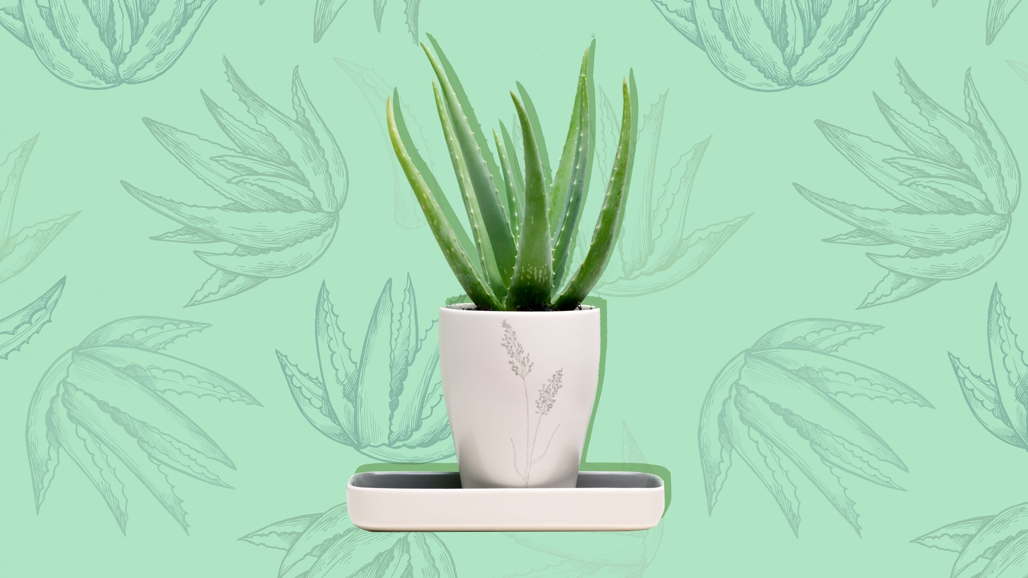 care-for-aloe