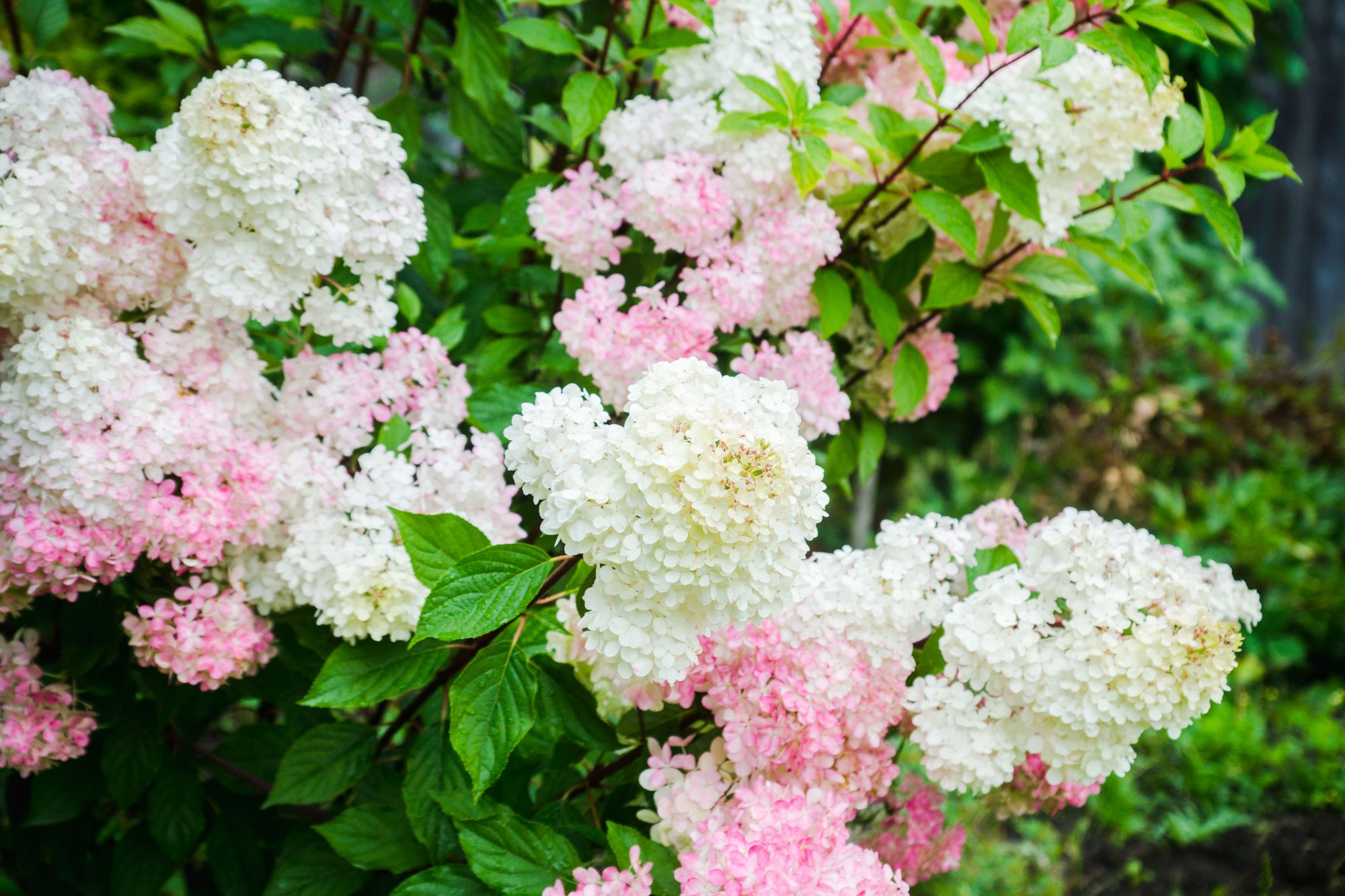 Vanilla Strawberry Hydrangea Is the Shrub Your Garden Needs