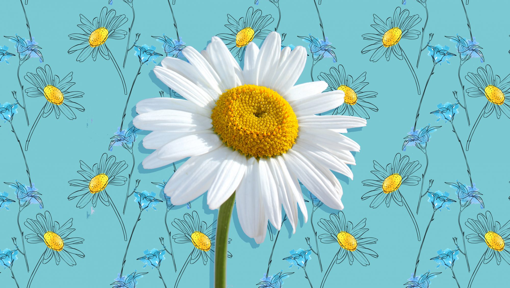 WATCH: Shasta Daisies Are the Most Cheerful Summer Flowers