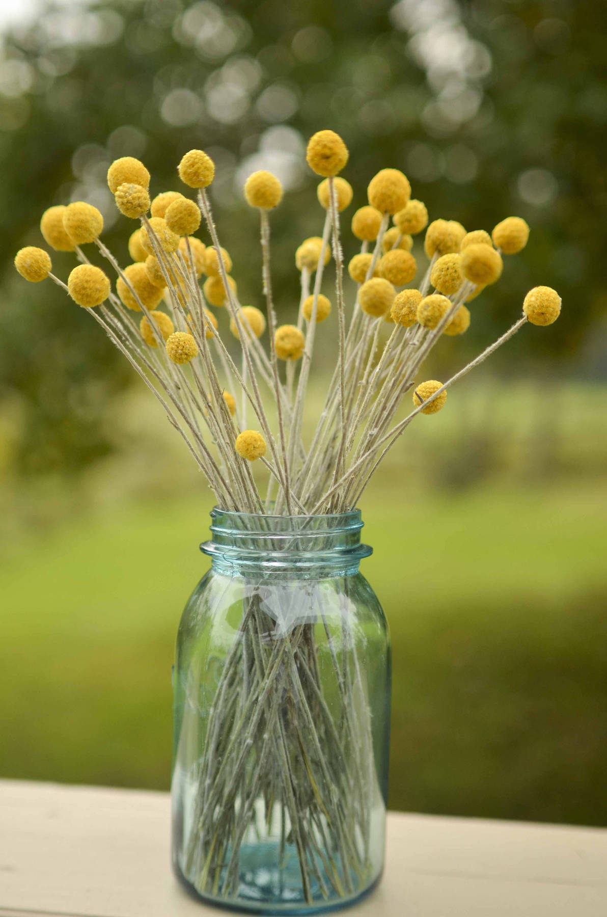 Yellow Billy Buttons