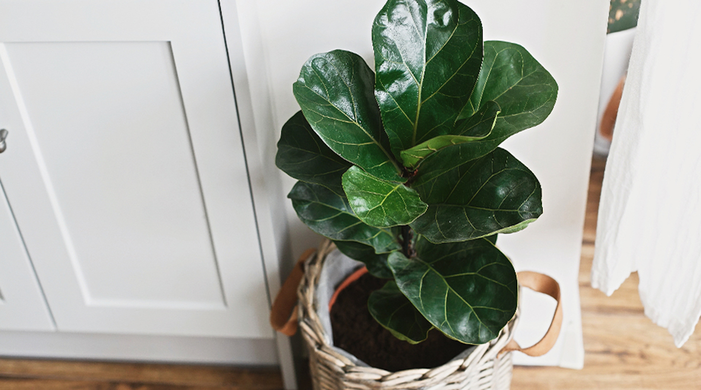 Difficult to Care for House Plants, Fiddle Leaf Fig