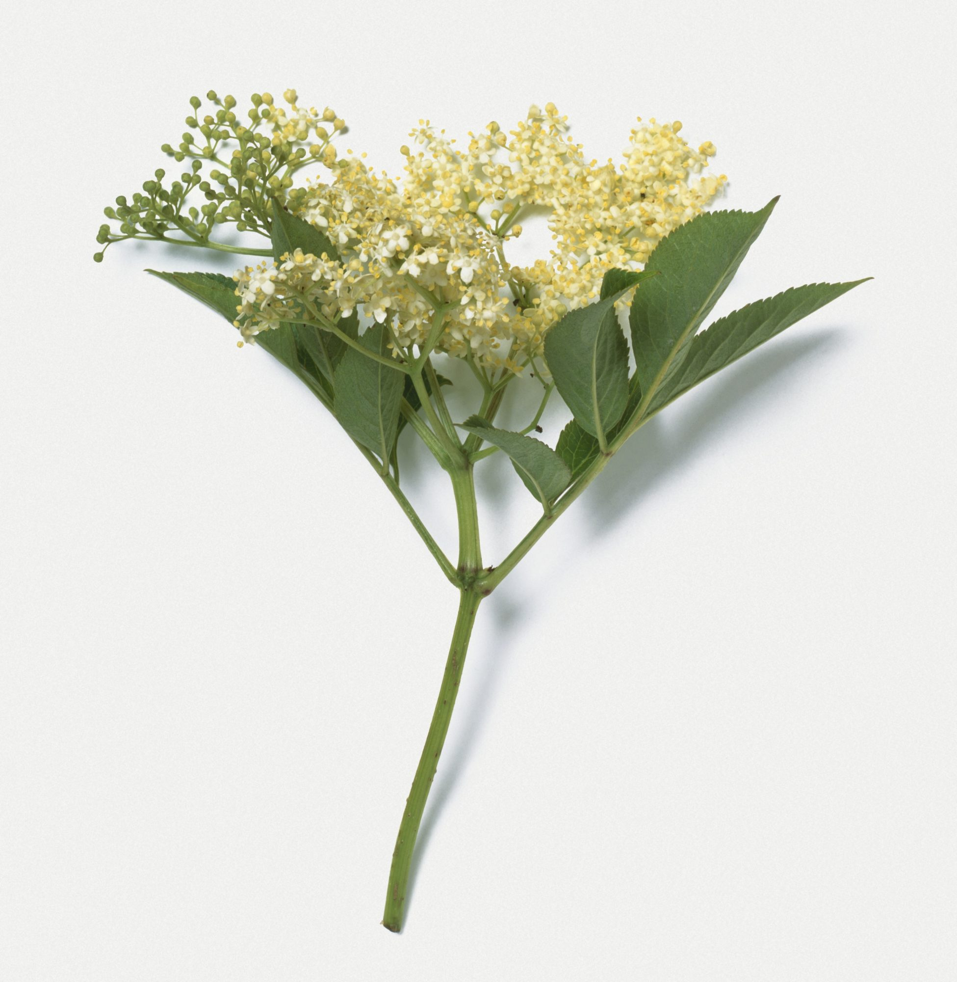 Elderflower plant