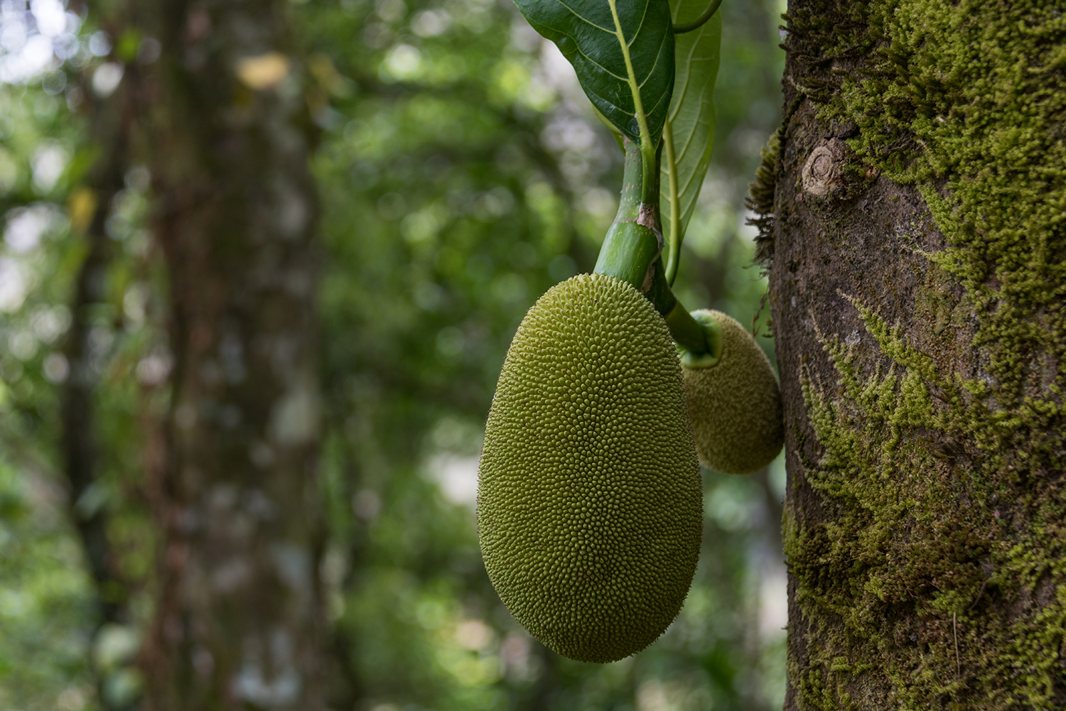 Jackfruit in the Wild