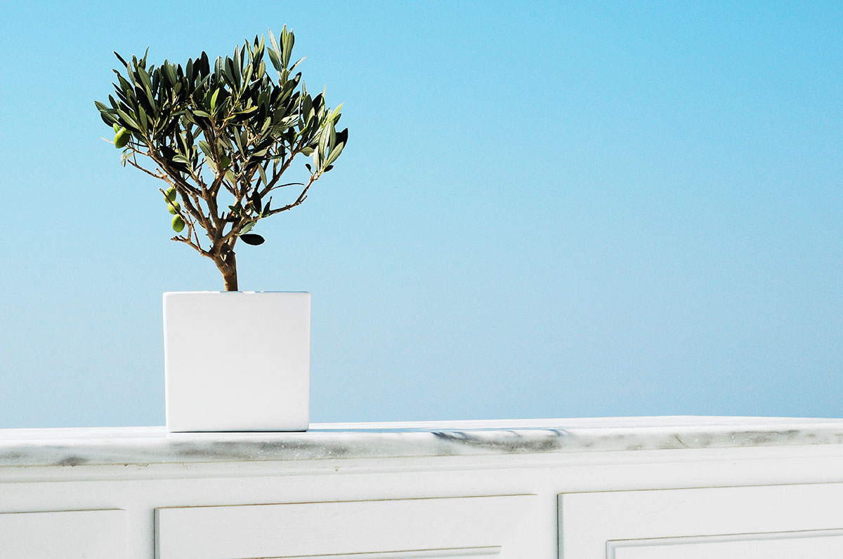 Everything You Need to Know About Trendy Olive Trees
