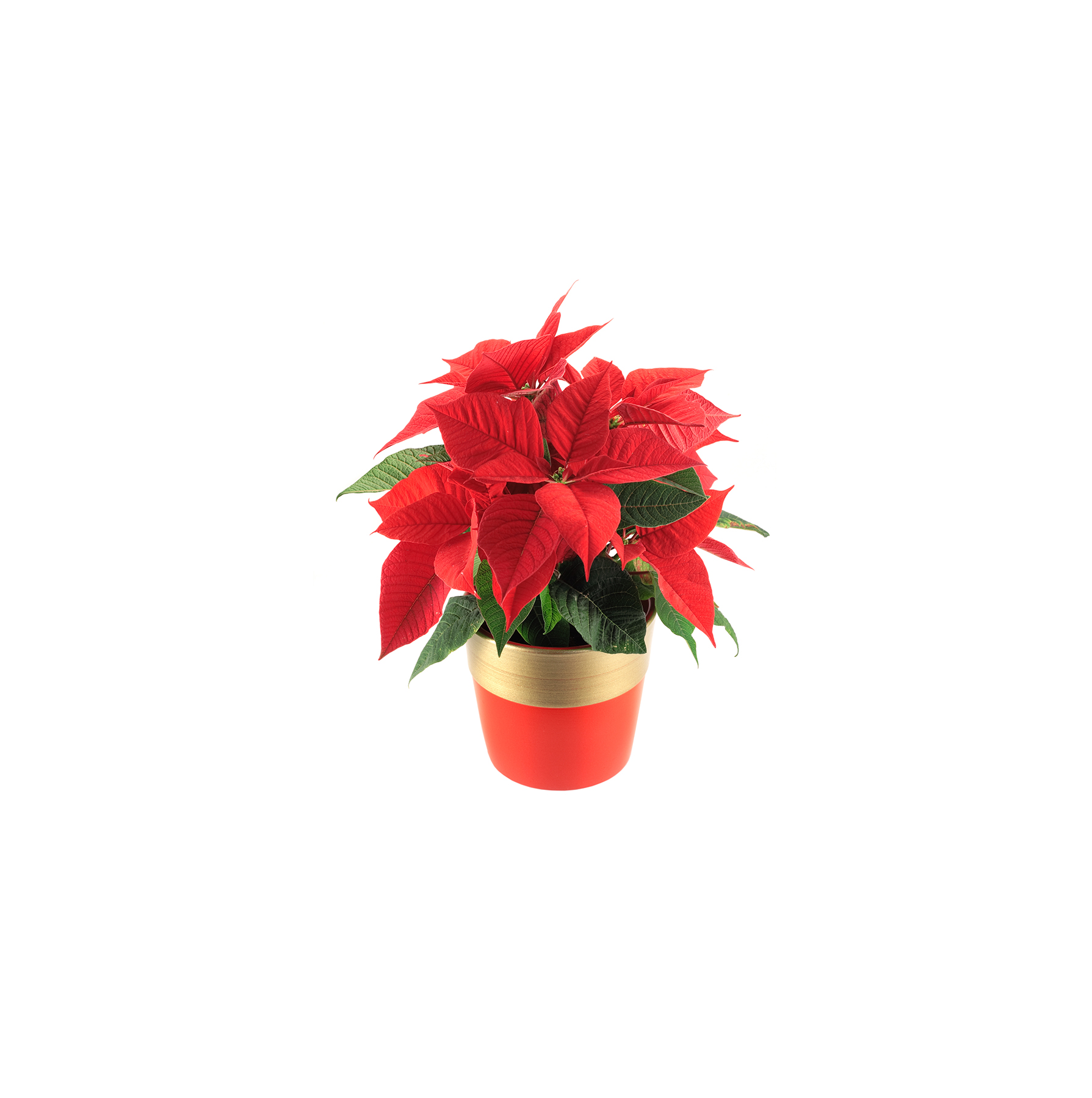 potted-pointsettia