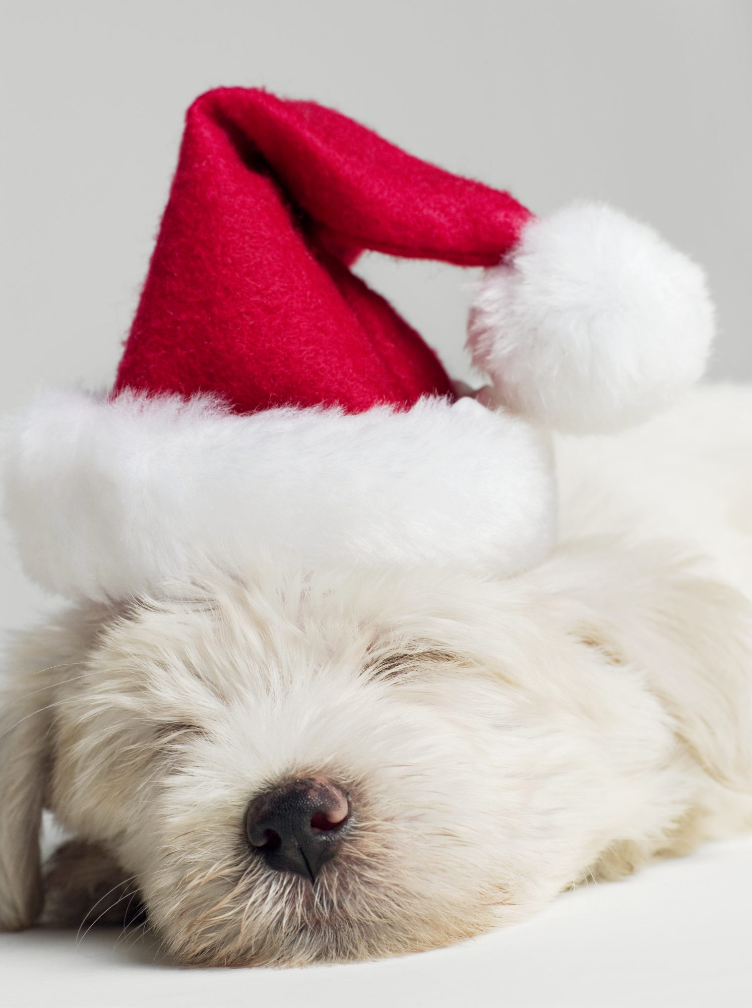 Sleeping Puppy In Santa Hat