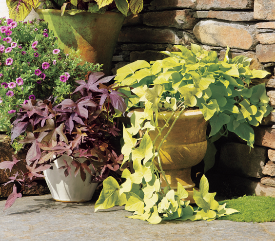 Sweet-potato Vine