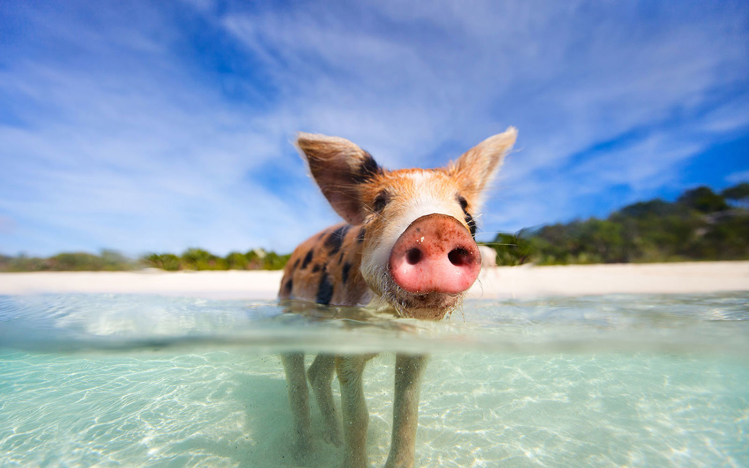 Swim with Pigs in Bahamas